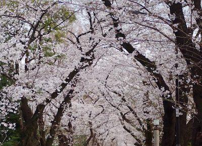 青山墓地の桜のトンネルです
